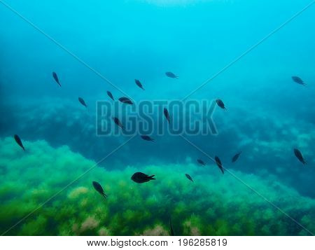 Black fishes in sea. Underwater photo with sealife