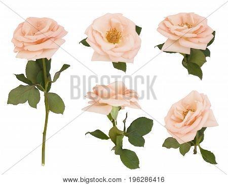 Isolated Rose flower set on white background. Useful for design of wedding invitation or romantic style gift card