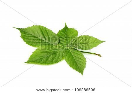 BlackBerry leaves closeup isolated on white background.