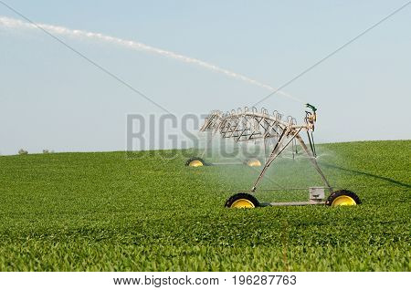 Irrigating a soybean field with an above ground pipe system.