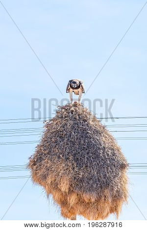 A martial eagle Polemaetus bellicosus eating prey on top of a communal bird nest built on top a a telecommunications pole near Groblershoop in the Northern Cape Province