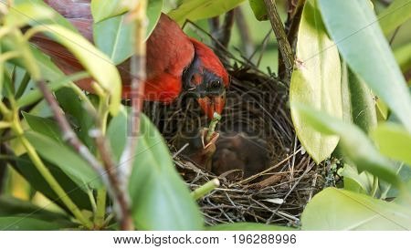 A male Cardinal bird feeds a green catapillar to his baby in the nest