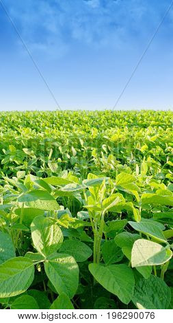 Soybean Field On A Bright Sunny Day. Leaves Of Soybean, Moloda Soybeans, Soy Sprouts, Flowers Of Soy