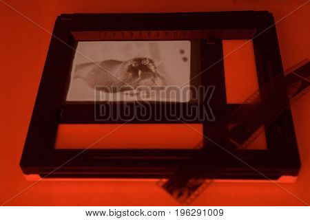 Analog photo printing with red light. Winking cat.
