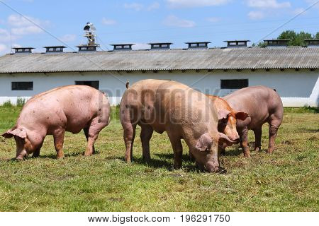 Group of pigs farming raising breeding in animal farm rural scene