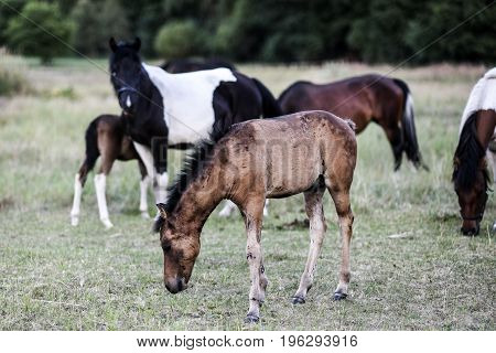Foal in a pasture with other horses in the background eating grass