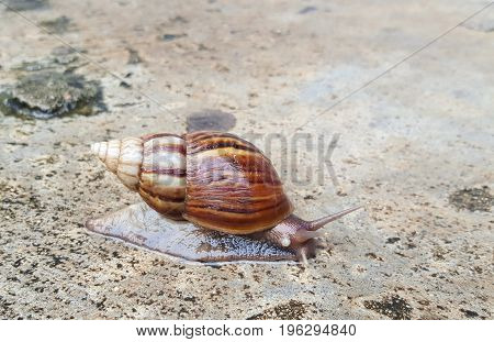 Snail crawling on the wet floor after rainfall.