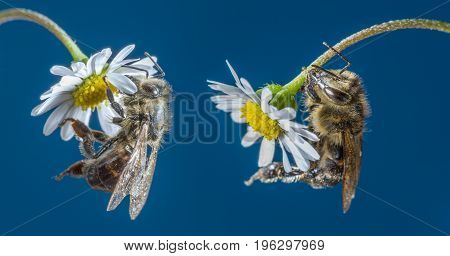 bee (apis mellifera) on a flower close up