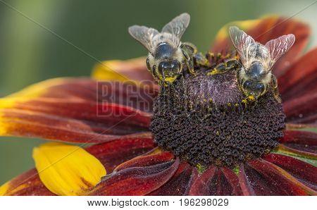 bees (apis melifera) on a flower - macro photo