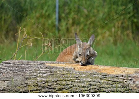 A kangaroo in the outdoors during summer