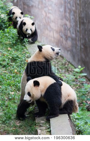 Four Young Giant Pandas Waiting For Food