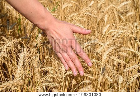 Girl's Hand Touching Ripe Wheat In Field On Summer Day Outdoors, Closeup. Agriculture, Agronomy And