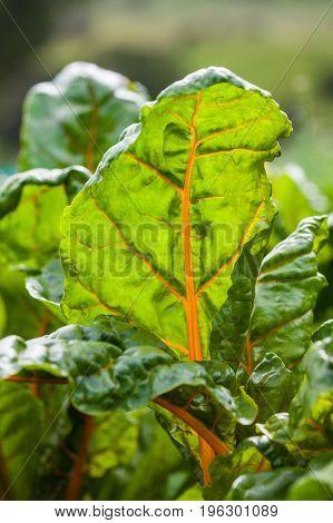 Orange stem chard (Beta vulgaris subsp. Vulgaris) at organic cultivation field
