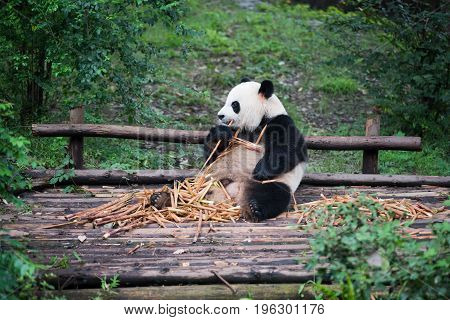 Giant Panda Eating Bamboo And Looking Away