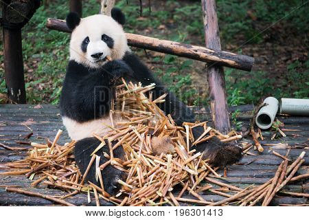 Giant Panda Sitting On Wood And Eatin A Lot Of Bamboo