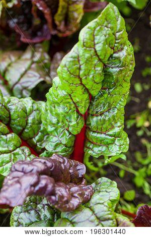 Red stem chard (Beta vulgaris subsp. Vulgaris) at organic cultivation field