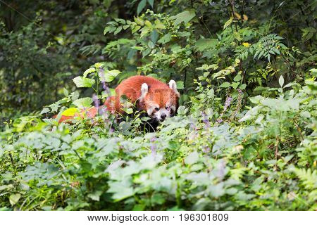 Red Panda Looking At A Flower In The Forest