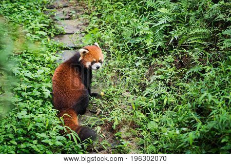Red Panda On A Path In A Forest