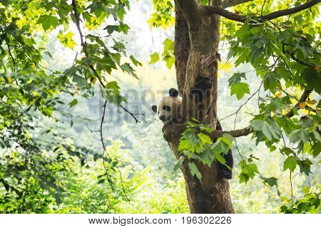 Young Panda Resting In A Tree With A Bee Flying By His Nose
