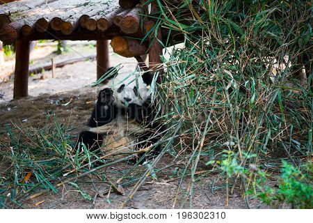 Young Panda Sitting And Eating Bamboo While Saluting With His Ha