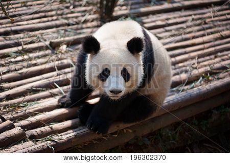 Giant Panda Close-up Looking At Camera
