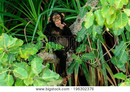 Chimp in a contemplative and thoughtful mood