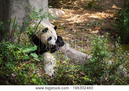 Young Panda Lying Down By A Tree And Eating Bamboo
