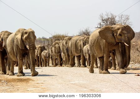 elephant herd on the move approaching rapidly