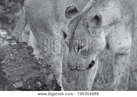 Lioness feeding on a buffalo carcass late in the evening with flies around artistic conversion