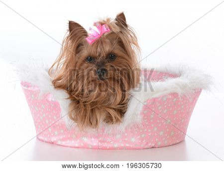 yorkshire terrier female laying in a dog bed on white background