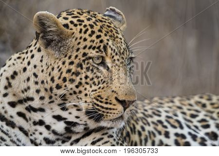 Portrait leopard lay down in at dusk to rest and relaxing