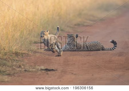 Cheetah cubs playing with its mother in the background in artistic conversion