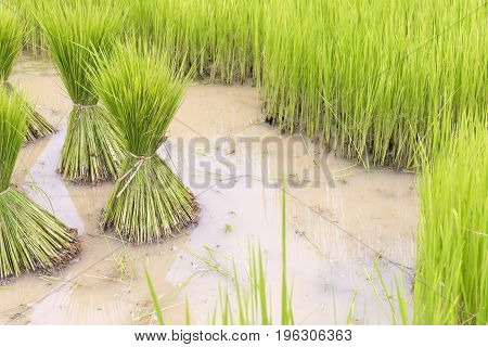 The planting the rice in the rice field.