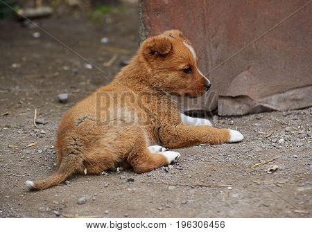 Red puppy with white paws lying on the ground