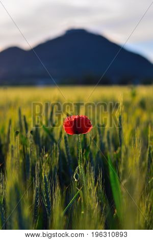 Fresh Red Poppy Flowers Are Fluttering With Fresh Green Barley Field. The Red Poppies In Blossom