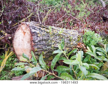 Cut Down Tree Part Stumps Outside In Wet Weather