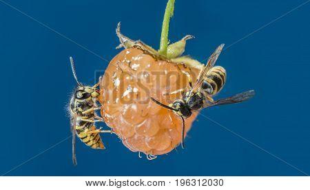 a wasp (Vespula vulgaris) on a raspberry