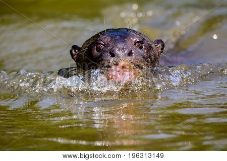 Head shot of a Giant River Otter swimming