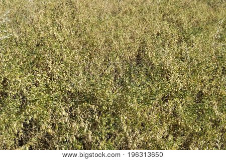 A natural landscape in the continental climate, dried mature chickpeas in dried chickpea field are expected to be harvested