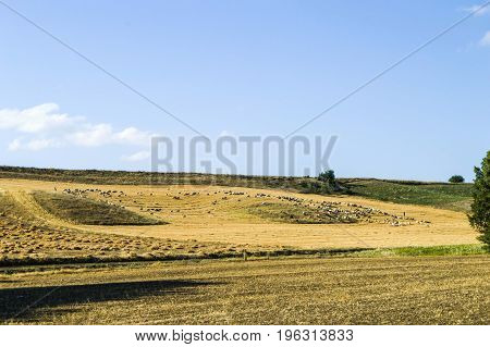 A natural landscape in the continental climate, dry fields and grazing sheep,