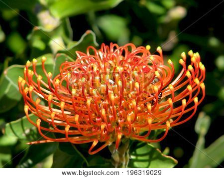 Pincushion Protea or Leucospermum is a genus of about 50 species of flowering plants in the family Proteaceae, native to Zimbabwe and South Africa