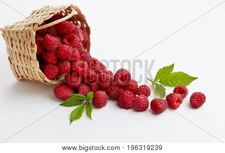 Basket full of freshly picked raspberries. Small basket of fresh raspberries.
