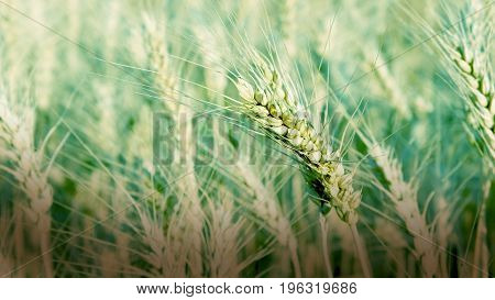 Field Of Young Wheat On A Sunny Day. Ear Of Wheat.