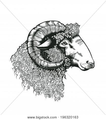 Head of ram hand drawn in antique etching style. Livestock animal isolated on white background. Vector illustration in monochrome colors for butchery logotype, farm products advertisement, banner