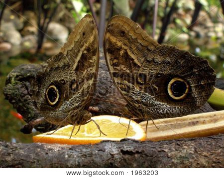 Two Butterflies Eating