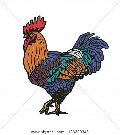 Colorful rooster or cock hand drawn in old etching style. Concept of domestic fowl, poultry farm bird. Vector illustration for banner, poster, t-shirt print, agricultural market logo, advertisement