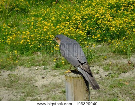 Sparrowhawk perched on a post with yellow wild flowers in the background