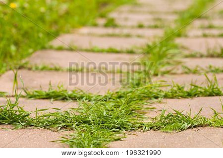 Young Green Grass Growing In Road Of Block Cement Tiles In Park Close Up.