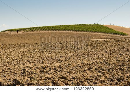 Fields of grapes in the summer along a plowed field