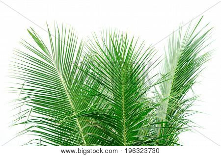 Leaves Of Coconut Tree On White Background